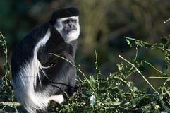 Scimmia di Colobus Immagine Stock