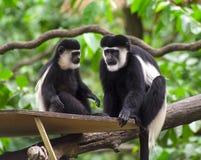 Scimmia di Colobus in bianco e nero Immagine Stock