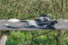 Scimmia di Colobus in bianco e nero Immagini Stock