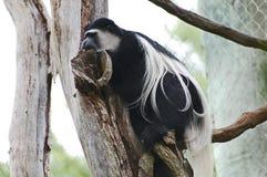 Scimmia di colobus in bianco e nero Fotografia Stock