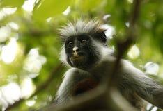 Scimmia di colobus in bianco e nero Immagini Stock Libere da Diritti