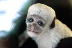 Scimmia di Colobus in bianco e nero del bambino sveglio Fotografie Stock Libere da Diritti