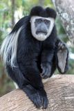 Scimmia di colobus in bianco e nero, nel Kenya, l'Africa fotografie stock