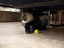 Scimmia di Colobus con un maracuja Fotografia Stock Libera da Diritti