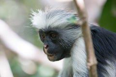 Scimmia di colobus rossa che guarda fisso nella foresta immagini stock libere da diritti