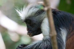 Scimmia di colobus rossa che guarda fisso nelle sue mani fotografie stock