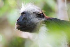 Scimmia di colobus rossa che guarda fisso su nella foresta fotografia stock libera da diritti