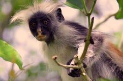 Scimmia di colobus rossa nella foresta di Jozani Fotografia Stock