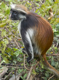 Scimmia di Colobus rossa rara Fotografia Stock