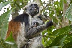 Scimmia di Colobus rossa rara con piccolo Immagine Stock Libera da Diritti