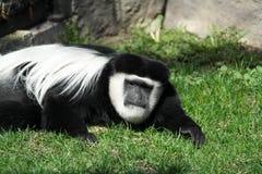 Scimmia di Colubus Fotografia Stock