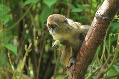 Scimmia di De Brazza fotografia stock libera da diritti