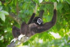 Scimmia di Gibbon Fotografia Stock Libera da Diritti
