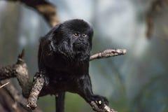 Scimmia di Goeldi fotografia stock