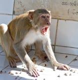 Scimmia di grido Fotografia Stock Libera da Diritti