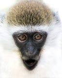 Scimmia di Grivet del bambino III Immagini Stock Libere da Diritti