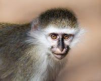 Scimmia di Grivet del bambino IV Fotografia Stock