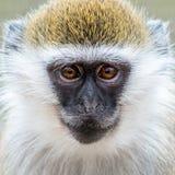 Scimmia di Grivet del bambino IX Fotografia Stock Libera da Diritti