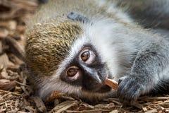 Scimmia di Grivet del bambino VI Fotografia Stock Libera da Diritti