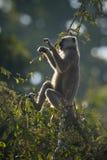 Scimmia di Hanuman Langur nel Nepal Fotografia Stock