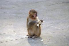 Scimmia di Lttle Fotografie Stock Libere da Diritti