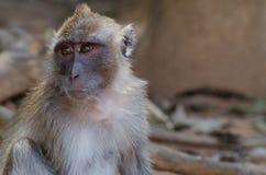 Scimmia di macaco Immagini Stock Libere da Diritti