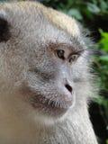 Scimmia di macaco Fotografia Stock