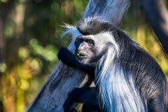 Scimmia di macaco Fotografie Stock Libere da Diritti