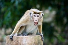 Scimmia di macaco arrabbiata del toque in tempio nello Sri Lanka Fotografia Stock Libera da Diritti