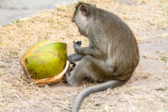 Scimmia di macaco che mangia una noce di cocco con le dita appiccicose! fotografia stock libera da diritti