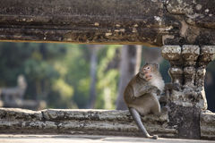 Scimmia di macaco a coda lunga che si siede sulle rovine antiche di Angkor Wa Fotografia Stock Libera da Diritti