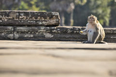 Scimmia di macaco a coda lunga che si siede sulle rovine antiche di Angkor Wa Fotografia Stock