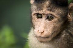 Scimmia di macaco del cofano Fotografia Stock