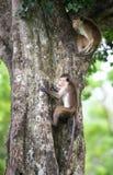 Scimmia di macaco del Toque che scala un albero in habitat naturale in Sri Immagine Stock Libera da Diritti