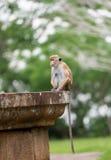 Scimmia di macaco del Toque che si siede su un monumento di pietra in tempio in Sr Immagini Stock Libere da Diritti