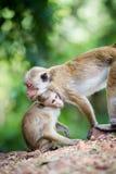 Scimmia di macaco femminile del toque con i bambini in habitat naturale Immagini Stock