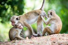 Scimmia di macaco femminile del toque con i bambini in habitat naturale Fotografie Stock Libere da Diritti