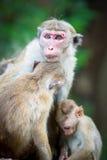 Scimmia di macaco femminile del toque con i bambini in habitat naturale Fotografia Stock