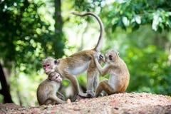 Scimmia di macaco femminile del toque con il bambino in habitat naturale Fotografie Stock