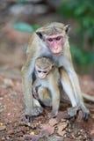 Scimmia di macaco femminile del toque con il bambino in habitat naturale Fotografia Stock