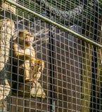 Scimmia di macaco marrone ingabbiata dietro la gabbia del recinto del metallo che si siede in un palo e che guarda fuori immagini stock libere da diritti