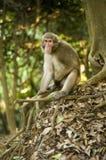 Scimmia di Macaque immagini stock libere da diritti