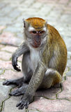Scimmia di Macaque Fotografie Stock