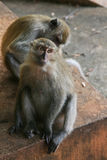 Scimmia di Macaque Fotografia Stock Libera da Diritti