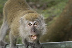 Scimmia di macaque arrabbiata   Fotografia Stock