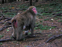 Scimmia di Macaque con il bambino Fotografia Stock Libera da Diritti