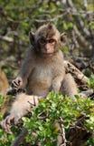 Scimmia di macaque molto sorpresa Fotografia Stock
