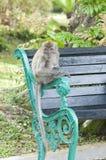 Scimmia di Macaque munita lunga Immagine Stock
