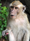 Scimmia di Macaque munita lunga Fotografia Stock Libera da Diritti