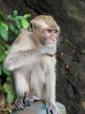 Scimmia di Macaque munita lunga Immagini Stock Libere da Diritti
